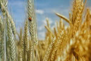 cornfield-195642_1280